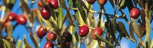 Hiszpańskie oliwki w walce z otyłością